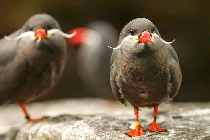 BioOrbis: Aves de Bigode?