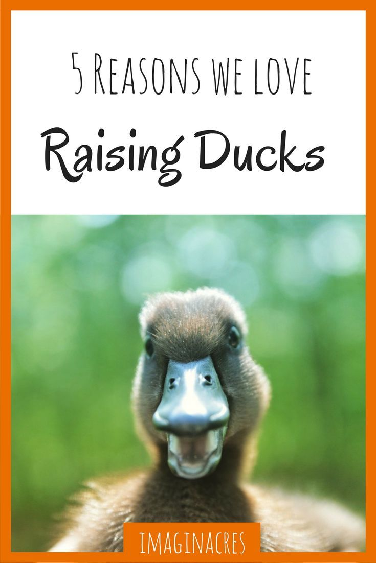 Raising ducks, sometimes we love it, sometimes we hate it. Here are the pros to raising ducks!