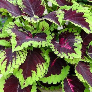 coleus - kong rose my favorite to plant with sweet potato vines and fountain grass!