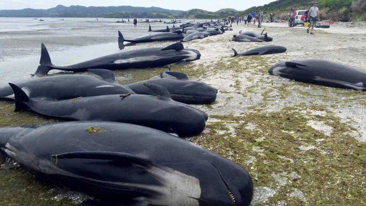 Varios centenares de ballenas piloto han sido halladas muertas este viernes en Nueva Zelanda después de que más de 400 de ellas quedaran varadas en la remota bahía Golden, en el noroeste de la isla Sur, ha informado la prensa local.