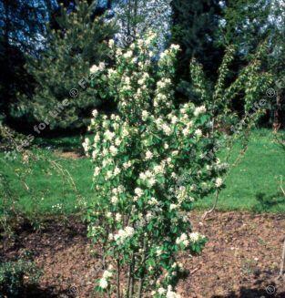 Image result for Amelanchier alnifolia 'Obelisk'