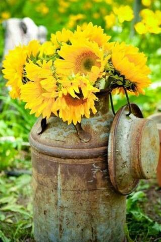 Sunflowers in an Old Milk Can.