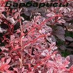 """SmartSad - Гортензия метельчатая """"Красная Вима"""" (Hydrangea paniculata """"Wim`s Red"""") - 2,5-летка, в горшке!"""