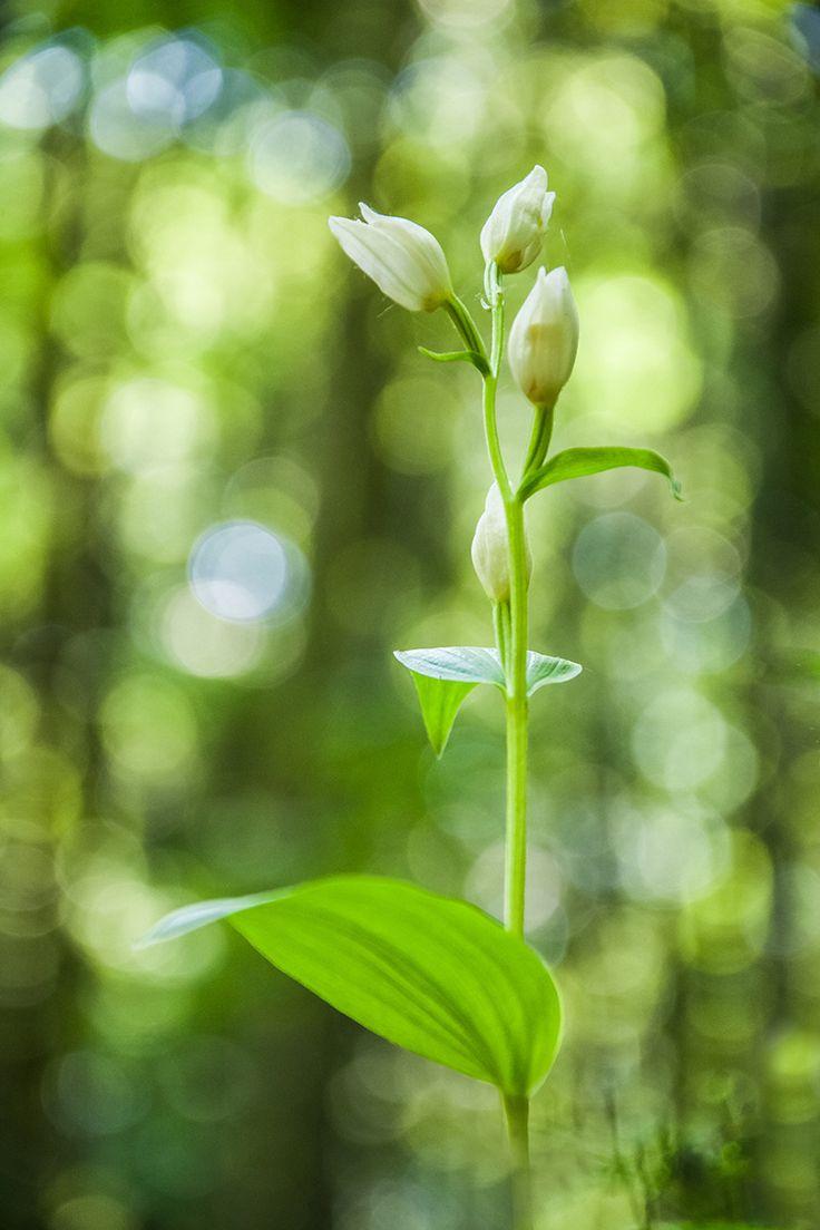 Cephalanthera damasonium - null