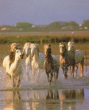 Camargue - photo de chevaux de camargue