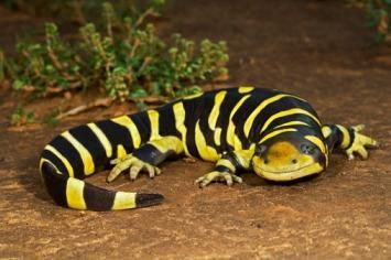 Tiger salamanders grow to a typical length of 6–8 inches and a maximum of 14 in (36 cm) in length.