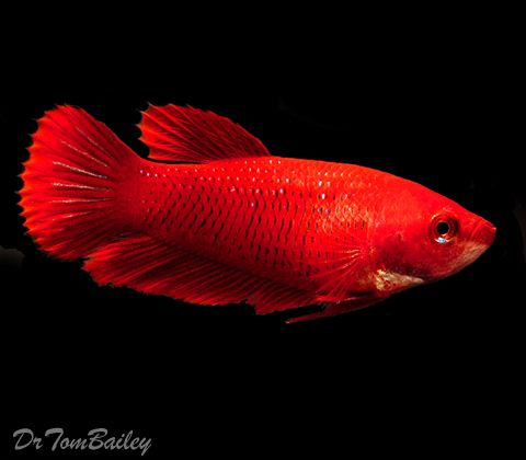 79 best female bettas images on pinterest fish aquariums for How much are betta fish
