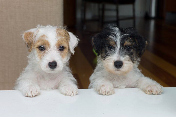 Rough Coat Jack Russell Puppies Jack Russell Terrier Puppies