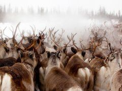 http://travel.nationalgeographic.com/travel/365-photos/reindeer-gallivare-lapland-sweden/