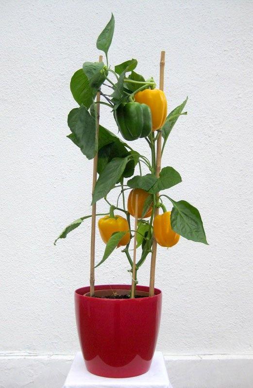 #Plant #paprika  2011
