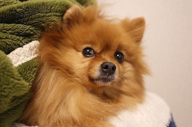 🐾 そろそろおねむ💤 . #ポメラニアン #ぽめ #犬 #わんちゃん #たぬき #愛犬 #ポメラニアンが世界一可愛い #犬バカ部 #ふわもこ部 #カメラ女子 #カメラ日和 #ファインダー越しの私の世界 #写真好きな人と繋がりたい #写真部 #写真撮ってる人と繋がりたい #犬好きな人と繋がりたい #ポメ部 #夜 #Canon #puppy #happy #pomeranian #pom #pomeranianworld #dog #Instadog #petstagram #tagsforlikes #멍스타그램 #개스타그램