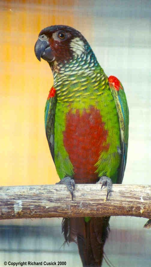 106 Best Conures Images On Pinterest Budgies Parakeets
