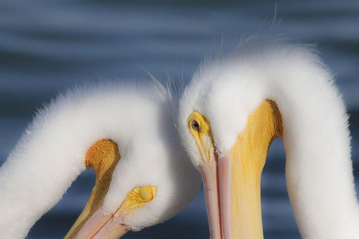 https://flic.kr/p/9Q3DiE | pelican love