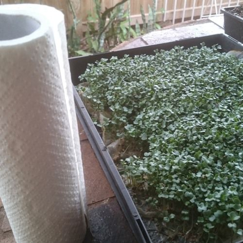 How to Grow Microgreens without soil. Click the image or website link to listen to The Marty's Garden Show podcast now!