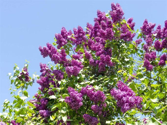 Blommande buskar – 10 buskar med vackra blommor | Leva & bo