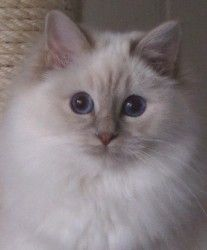 Heilige Birma Katze Ch. Fee vom Camillusgarten, Lilac Tabby Point