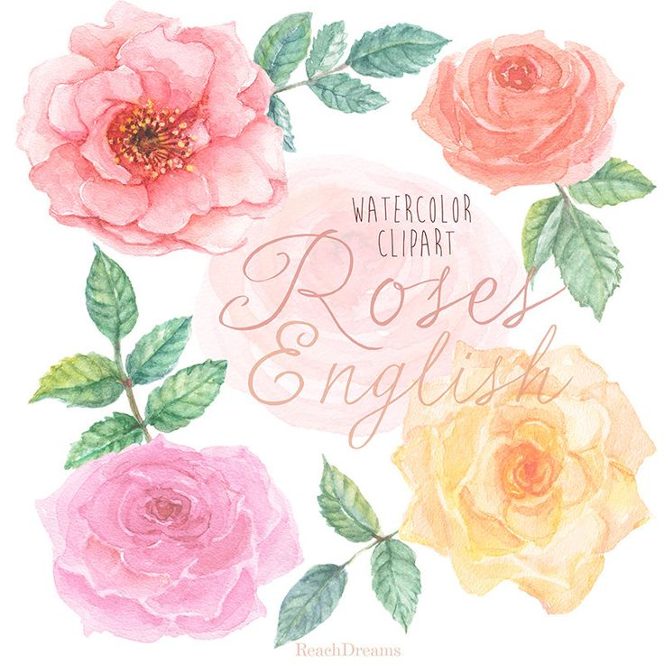 Rose inglesi acquerello Clipart. Dipinta a mano di ReachDreams