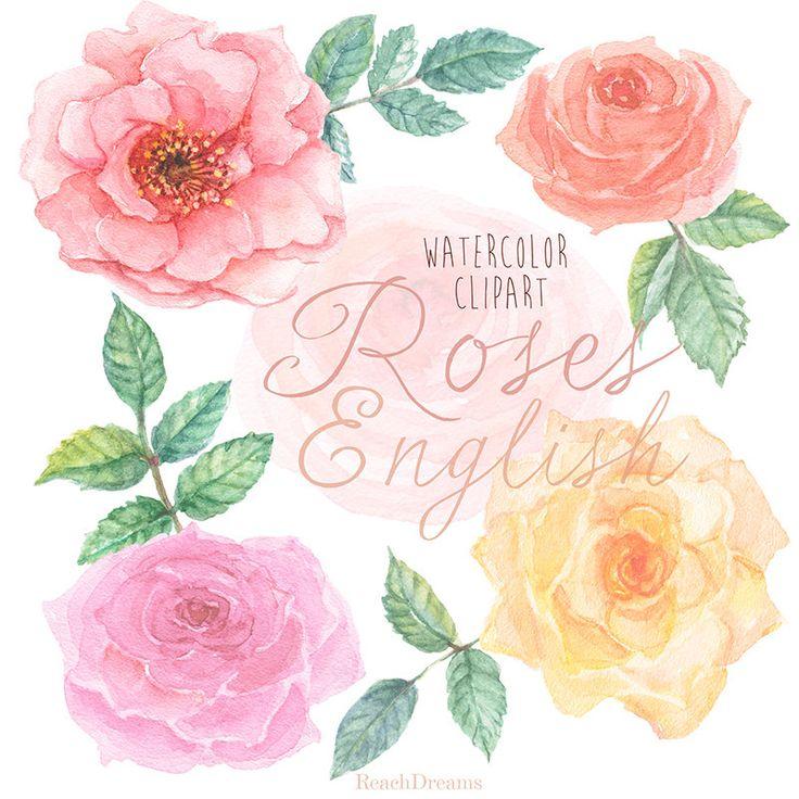Rose inglesi acquerello Clipart. Dipinta a mano di ReachDreams