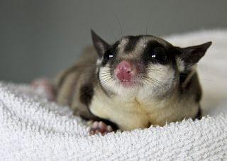 """Petauro-do-açúcar (Petaurus breviceps) é uma pequena espécie de possum planador, originária do Leste e Norte da Austrália, da Nova Guiné e do Arquipélago de Bismarck.Trata-se de um animal onívoro já que se alimenta de insetos e seiva de plantas. Sua habilidade em planar se deve à existência de uma membrana que liga seus braços às suas pernas formando uma espécie de """"asa"""". Atualmente tem sido adotado como animal de estimação. Pode ser encontrado na Tasmânia, onde foi introduzido."""