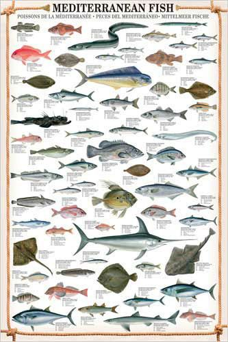 14 39 Mediterranean Fish 61 Saltwater Species Wall Chart Poster Ebay Collectibles Fish Art Fish Illustration Fish Chart