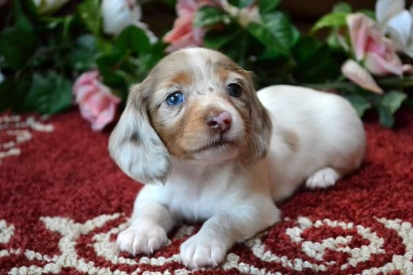 Mini Dachshund Puppies For Sale Black Tan,Doxie Breeder short Hair Pups                                                                                                                                                                                 More
