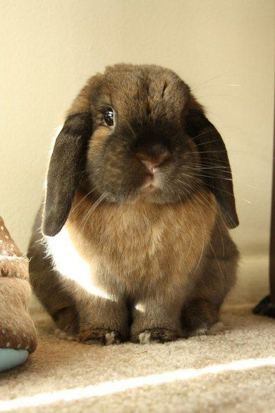 Adorable Lop-Eared Bunny