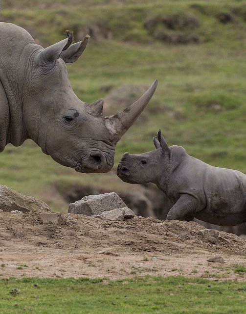 Rhino calf Kayode locks eyes with Mom at the Safari Park.