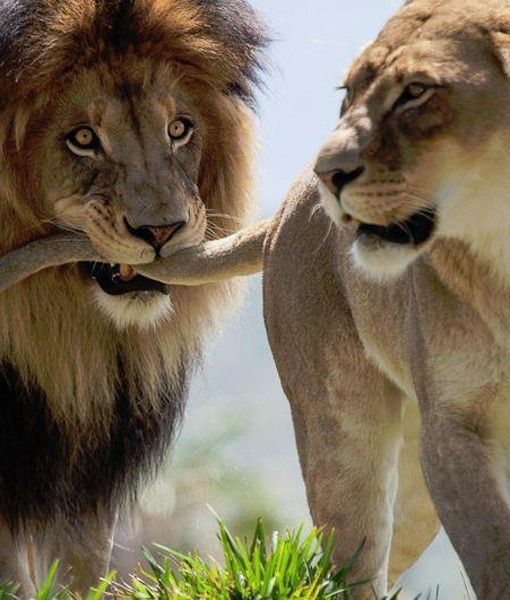 A male lion grabs hold of a female lion's tail in what we believe to be a flirtatious gesture. - Perth Zoo/Facebook