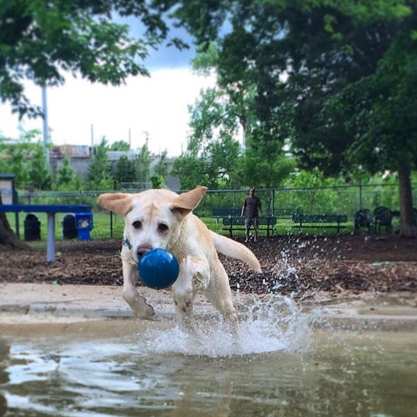 So much fun at Maplewood Dog Park! - Kelloggg Park - St. Louis, MO - Angus Off-Leash #dogs #puppies #cutedogs #dogparks #stlouis #missouri #angusoffleash