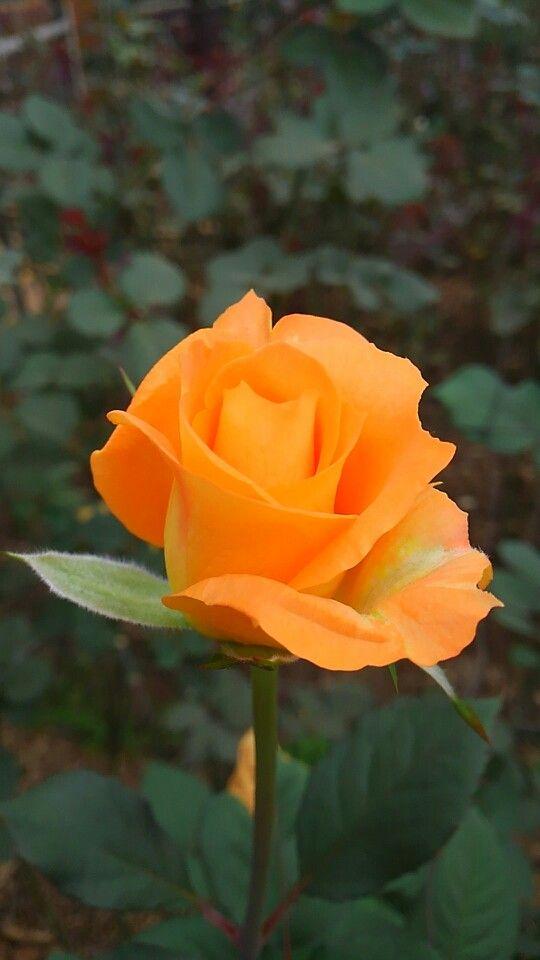 Beautiful orange rose.
