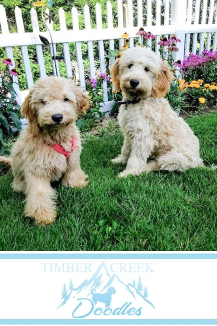 We Re Dedicated To Raising The Best Teacup Mini Goldendoodle And
