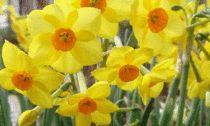 Цветы в доме зимой Посадка нарциссов | Мир вокруг нас