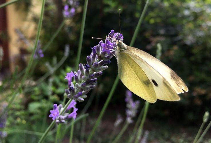 Schmetterlingsgärten überall – Gastkommentar von Ute Woltron