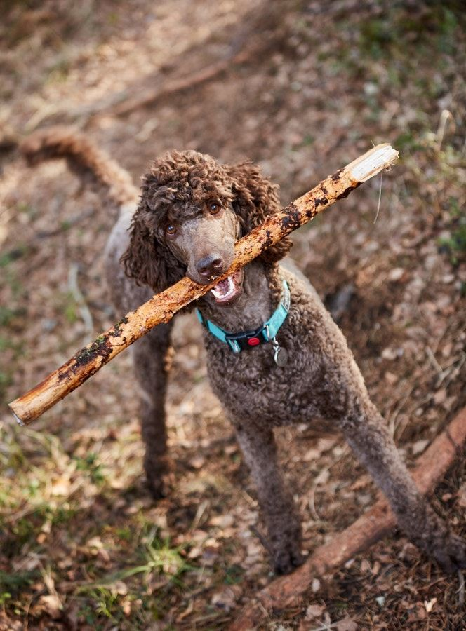 Brown poodle standing in the springtime forest ready for action with a stick - Brown poodle standing in the springtime forest ready for action with a stick.