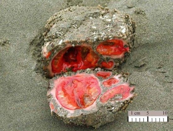 Pyura chilensis, popularly known as the living rock, a sea organism that lives on the rocky coast of Chile and Peru