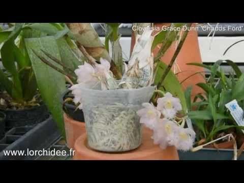 Clowesia Grace Dunn 'Chadds Ford' - Orchidées Vacherot et Lecoufle - Lor...