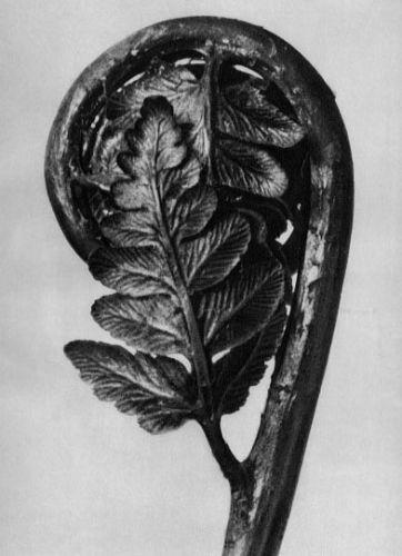Karl Blossfeldt, olypodiaceae Aspidieae, Polypody, young unrolling leaf
