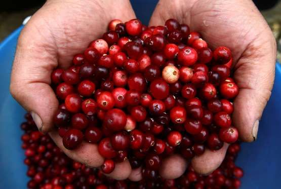 A Belarussian man prepares cranberries he gathered for sale in the village of Budy, Belarus, on Sept... - Vasily Fedosenko / Reuters