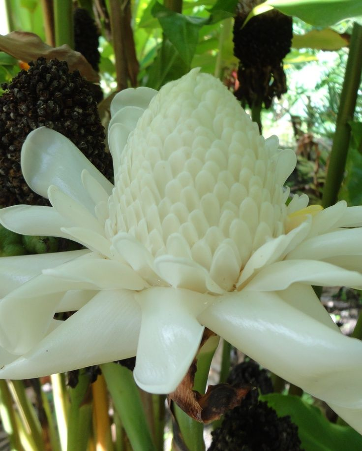 White Torch' Etlingera elatior