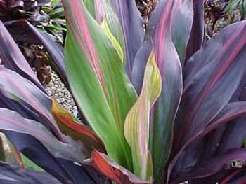 New plant: Cordyline Negra