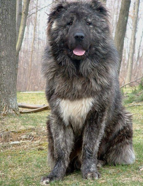 This is the Dream Dog. The breed is called a Caucasian Mountain Dog, and this is one of the sires from Esquire Caucasians at (get this) NINE MONTHS OLD. He hasn't hit his full growth yet! I want one!!!!