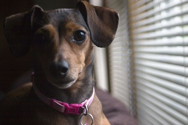 Chihuahua and Dachshund Breed Mix