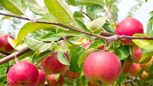 5 huikeaa terveyshyötyä – voitko enää olla syömättä omenoita?