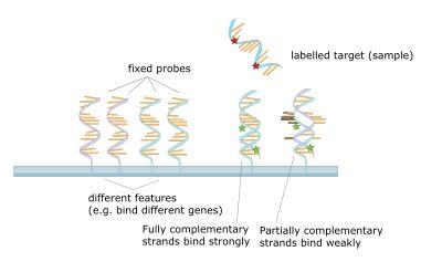 DNA microarray - Wikipedia, the free encyclopedia