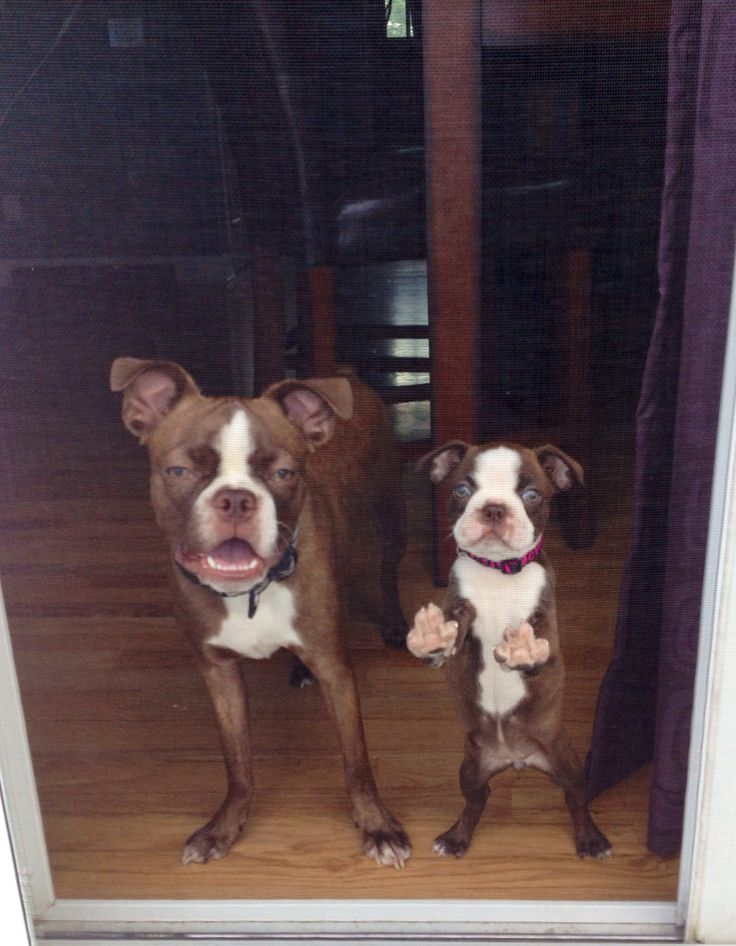Red Boston terriers