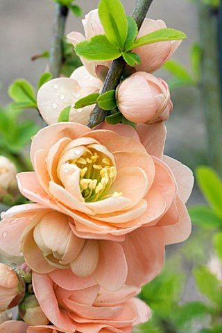 Flowering Quince Chaenomeles 'Cameo'