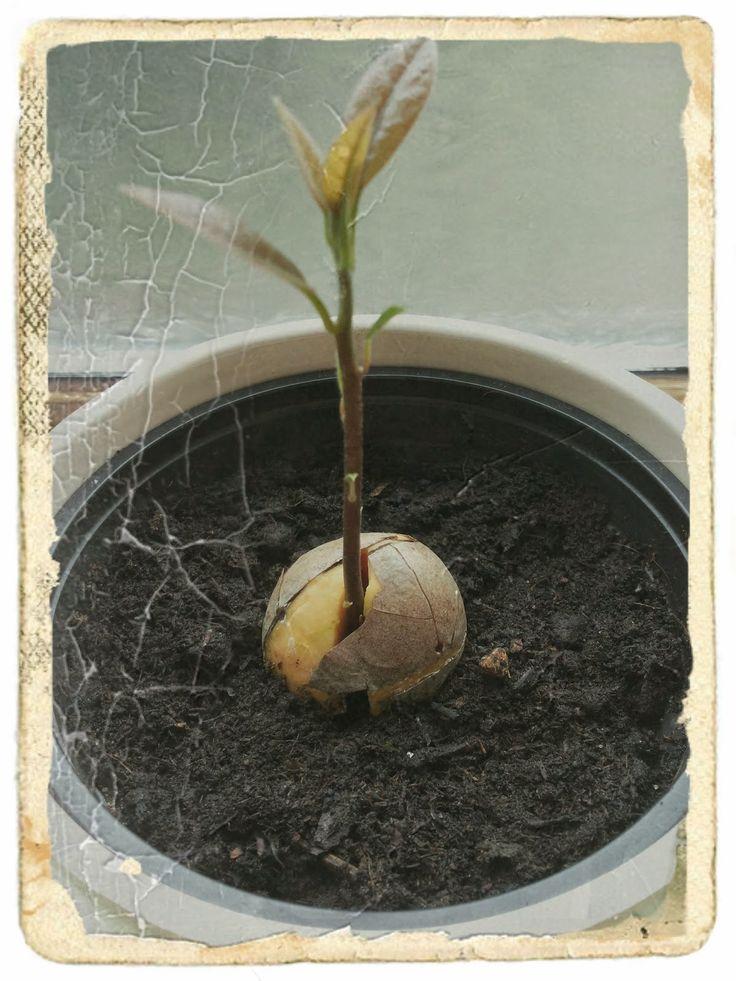 Nadat ik weer eens een avocado in een smoothie had gebruikt dacht ik, laat ik de pit eens bewaren en proberen om mijn eigen avocadoboom te k...