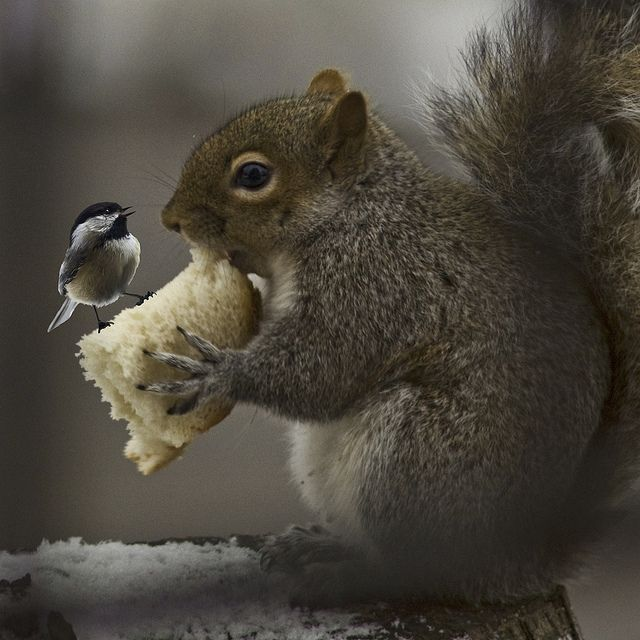 """after you."" ""no - after you""  Wren and squirrel sharing a winter meal"