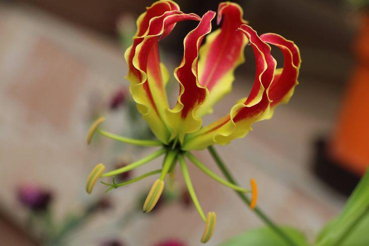 Egzotikus virágok magyar balkonokon, amilyeneket még Te sem láttál! http://balkonada.cafeblog.hu/2015/08/05/egzotikus-viragok-magyar-balkonokon-amilyeneket-meg-te-sem-lattal/