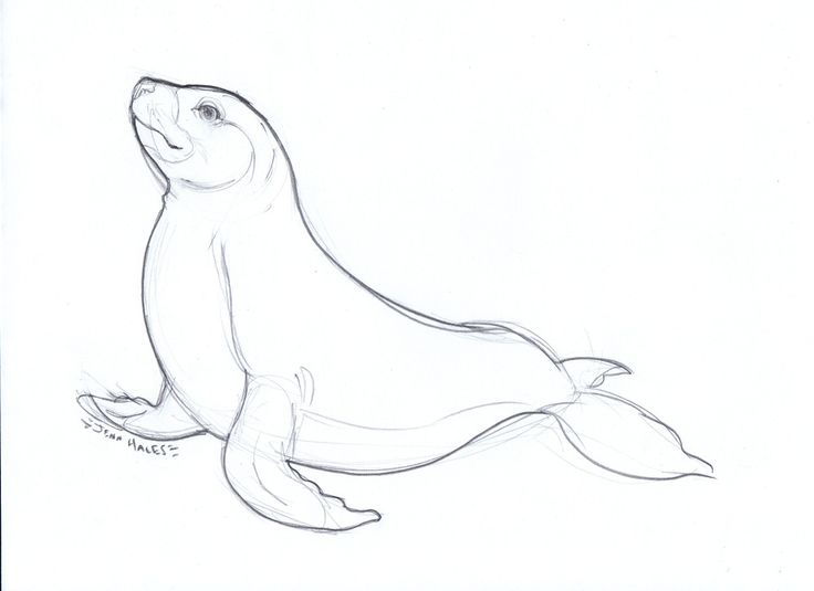 Learn How to Draw a Weddell Seal (Seals) Step by Step : Drawing ...